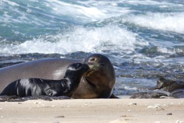 2400x1800_Hawaiian_monk_seal_mom_pup