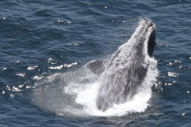 right-whale-breaching.jpg