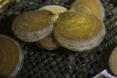 Three juvenile sea scallops.