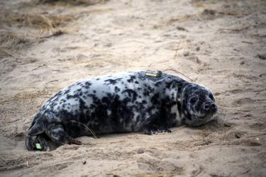Seal pup on beach, there is a green flipper tag on its tail and a satellite tag between its shoulders.