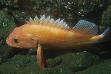 Yelloweye Rockfish.jpg