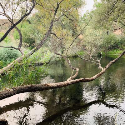Tree spanning the Calaveras River