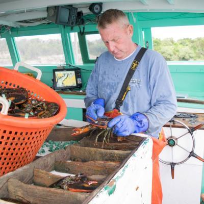 Al Eagles measures American lobsters aboard his fishing vessel.