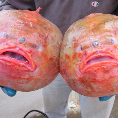 Two red gaper fish