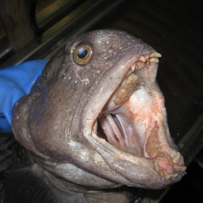 Wolffish with open mouth and teeth