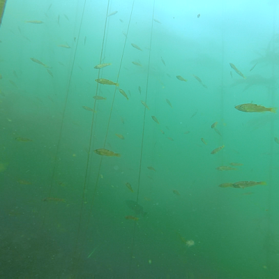 Figure 1 shows a large school of young-of-year rockfish in kelp forest habitats during a large recruitment event in 2016 in the Olympic Coast National Marine Sanctuary.
