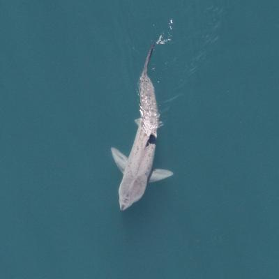 A basking shark viewed from above. They are the second largest shark species, after the whale shark., the largest fish in the world at 55 feet in length..