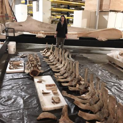 NOAA's Dr. Patricia Rosel examines Rice's whale type specimen at the Smithsonian's National Museum of Natural History