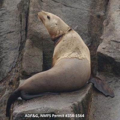 entangled Steller sea lion with a packing band around its neck