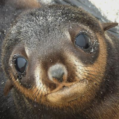 Photo of a northern fur seal pup, face close up.