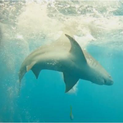 A swimming sandbar shark.
