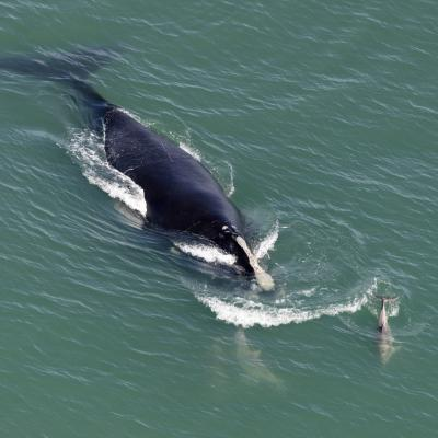 A North Atlantic right whale swimming.