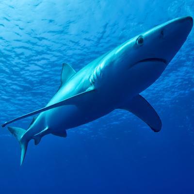 A swimming blue shark.