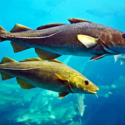 Two cod fish swimming.