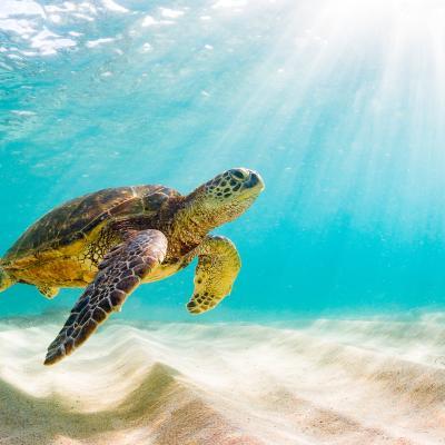 A swimming sea turtle.