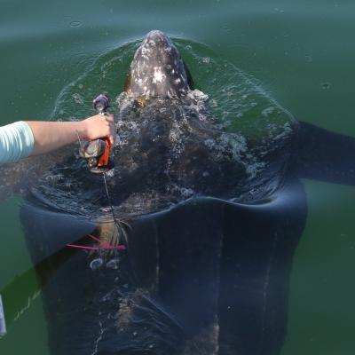 A leatherback sea turtle receiving a camera tag from the Coonamessett Farm Foundation.