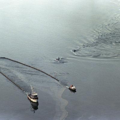 killer whales swimming towards an oil boom during the Exxon Valdez oil spill