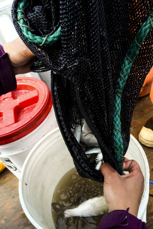 Photo of a researcher collecting salmon samples from a net into a bucket.