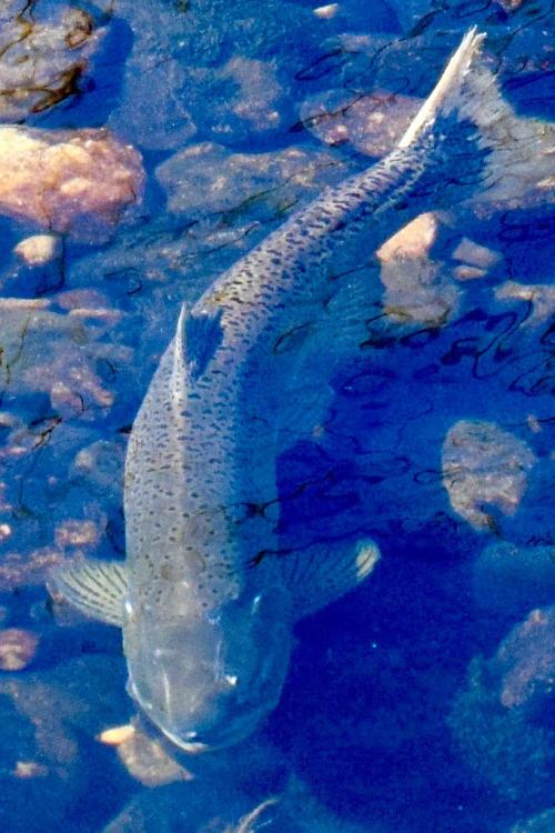Chinook salmon in shallow water