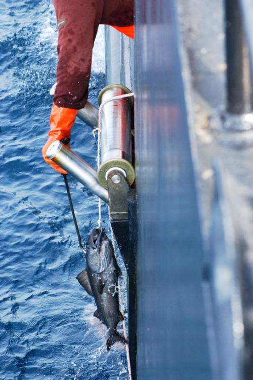 Photo of a sablefish being hauled in to a boat via a longline.