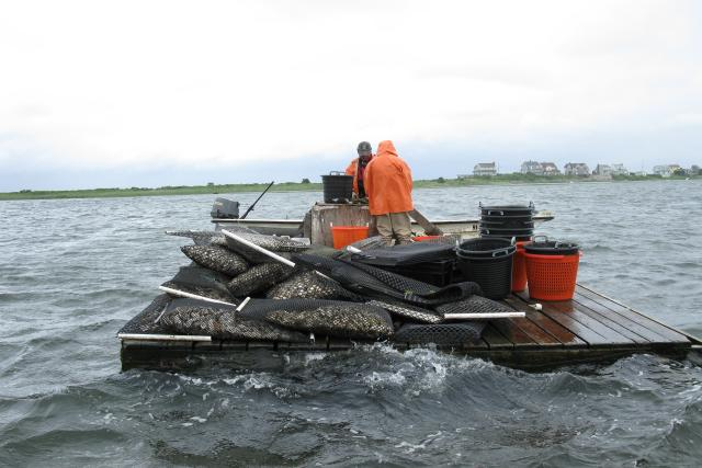 Two farmers sorting oysters on a boat loaded with bags and baskets of oysters.