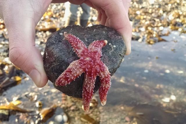 red-banded sea star at Kachemak Bay, Alaska
