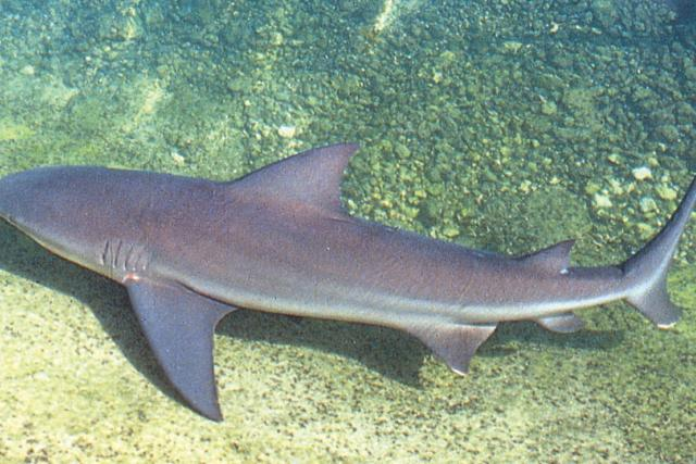 A bull shark can grow to about 11 feet in length and are often found in bays and rivers far into fresh water.