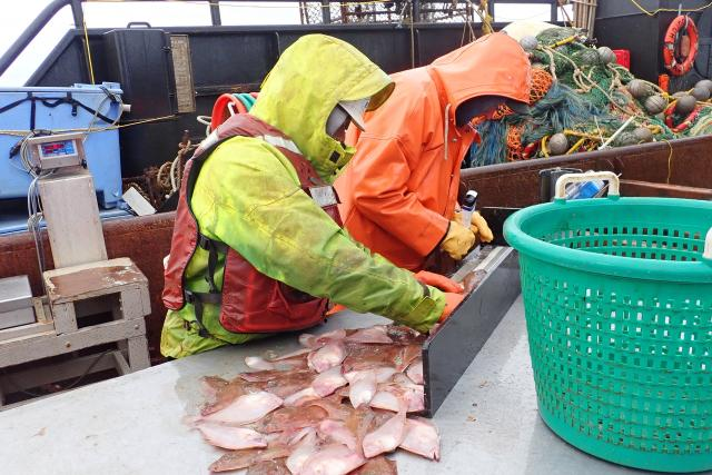 Two scientists measuring flatfish on a survey boat