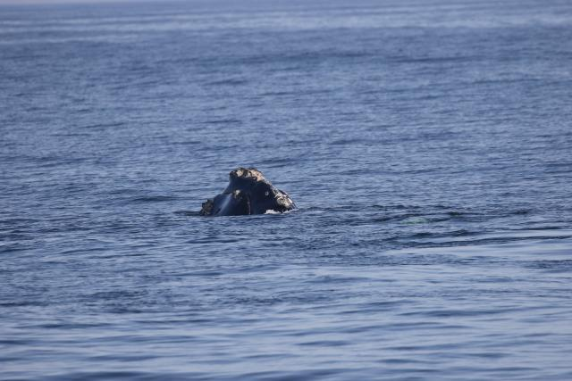 North Atlantic right whale Monarch and calf sighted off Vilano Beach, Florida