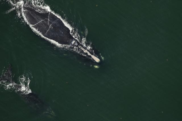 North Atlantic right whale #2420 and calf