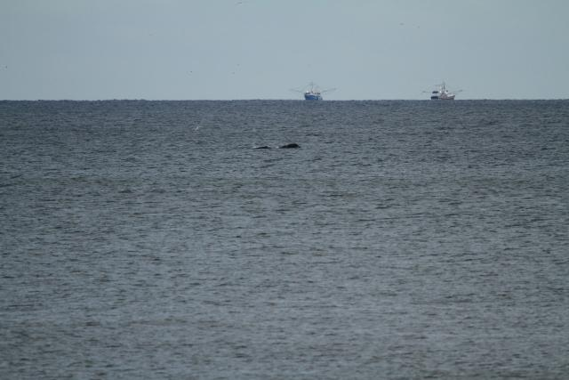 North Atlantic right whale #2430