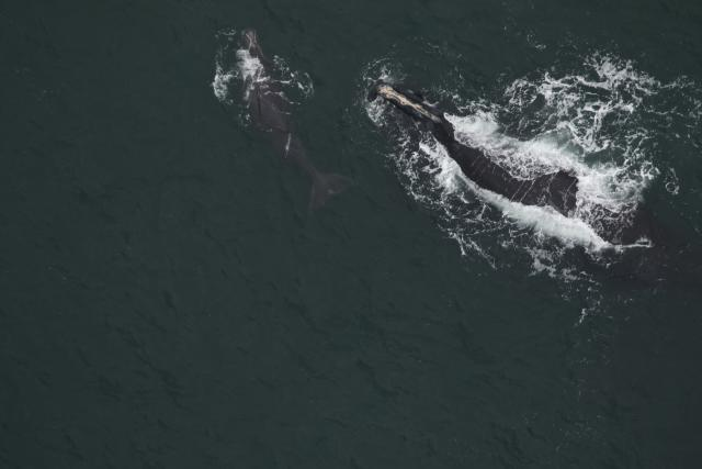 North Atlantic right whale #3010 and calf
