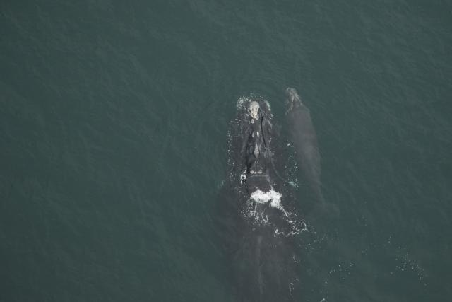 North Atlantic right whale #3130 and calf