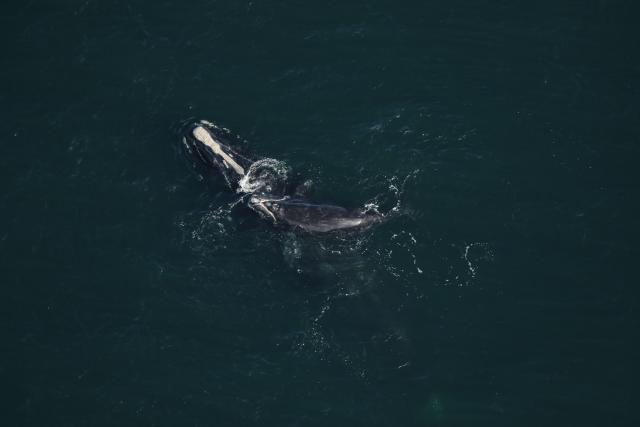 North Atlantic right whale #3230 and calf