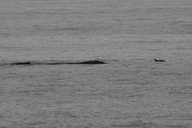 North Atlantic right whale #3520 and calf