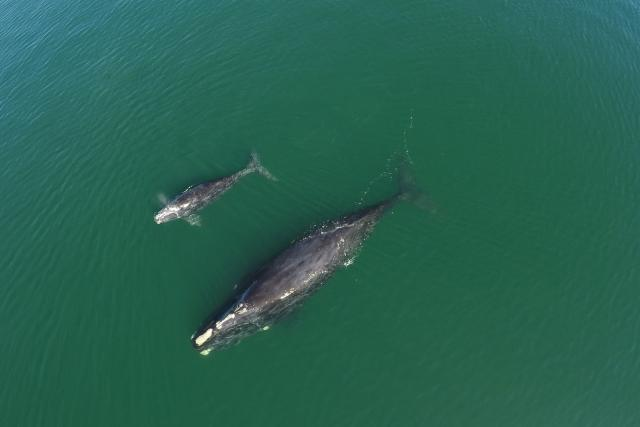 North Atlantic right whale #3720 and calf