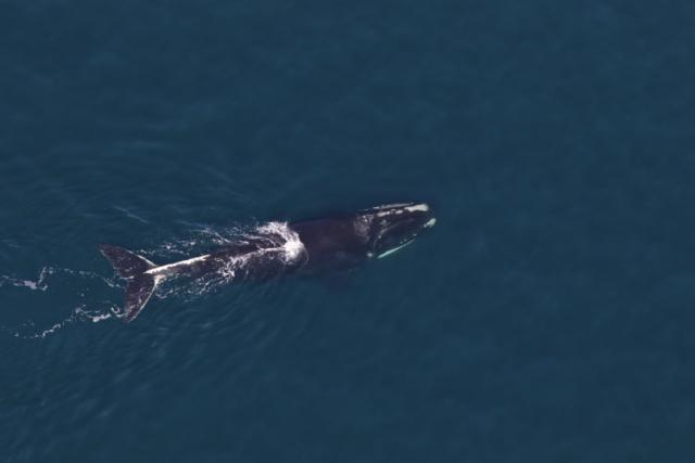North Atlantic right whale #3942