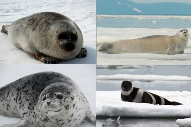 Four ice-associated seals - ringed seal, bearded seal, ribbon seal, spotted seal