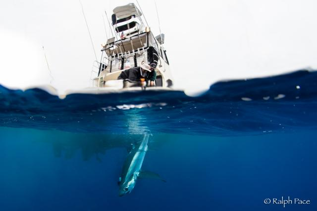 Researchers on a boat floating on the water and a bigeye thresher shark swimming under the water below them.