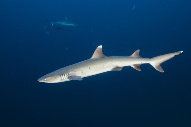 A swimming shark.