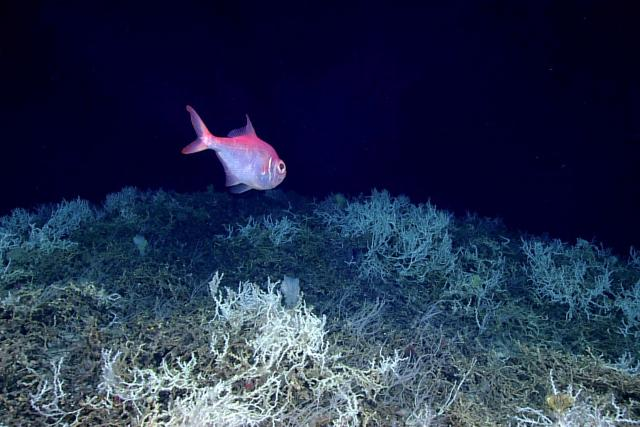 An alfonsino swims above coral mounds off the east coast of Florida.