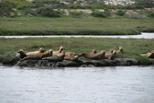 Harbor seals in the channel of the Elkhorn Slough.