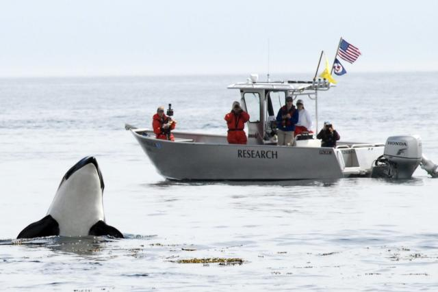 Southern Resident Killer Whale spyhopping near NOAA research vessel Noctiluca in the Puget Sound