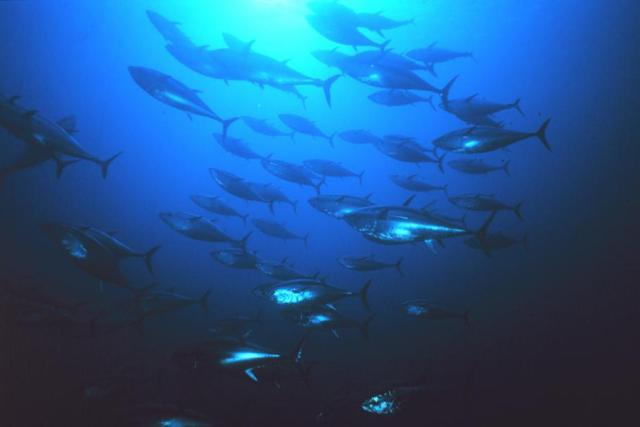 900x600-Atlantic-Pacific-bluefin-tuna-NOAA.jpg