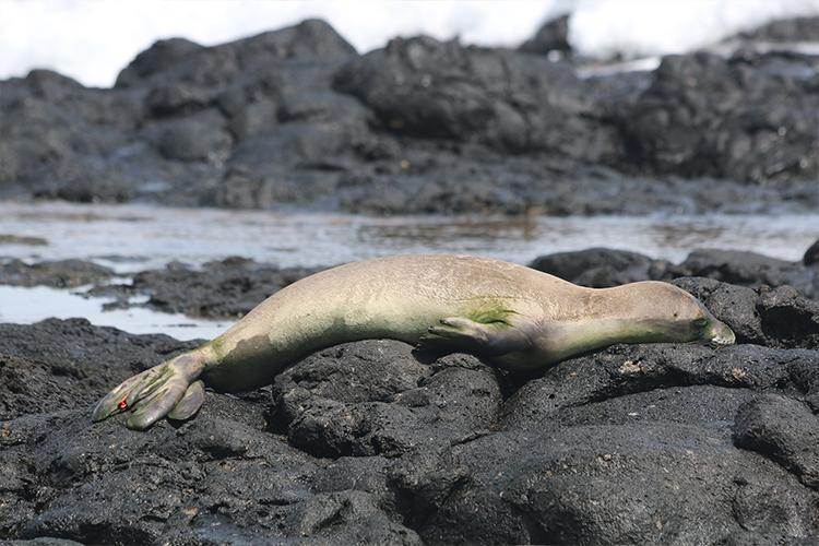 Monk seal sleeping on rocks.