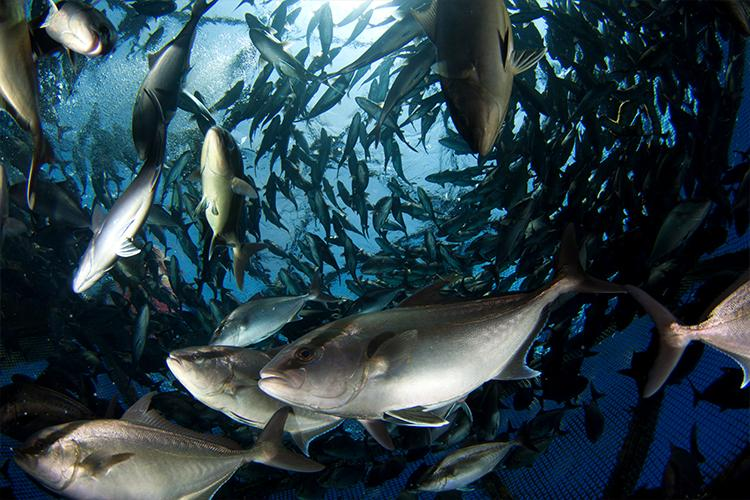 School of fish in a cage pen in open waters.