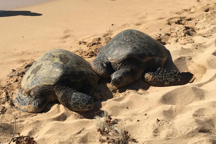 Two green turtles basking on Oahu