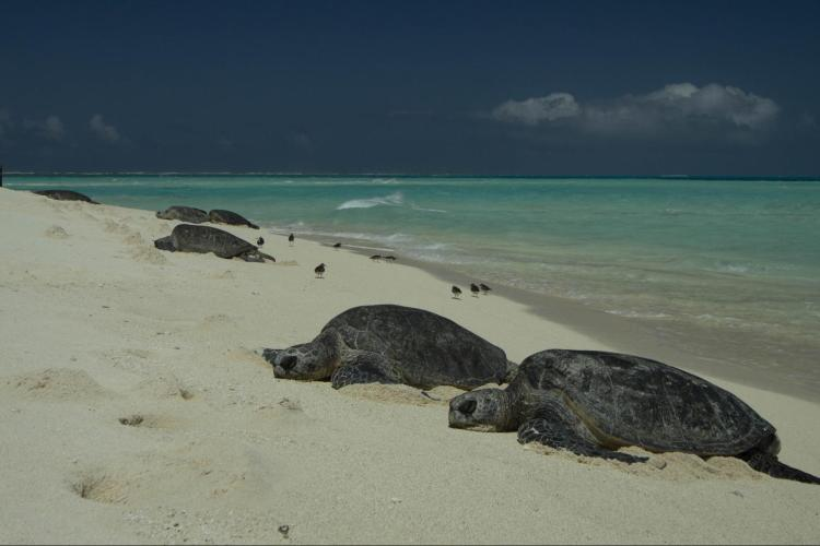Two green turtles basking on Tern Island, French Frigate Shoals, Northwest Hawaiian Islands