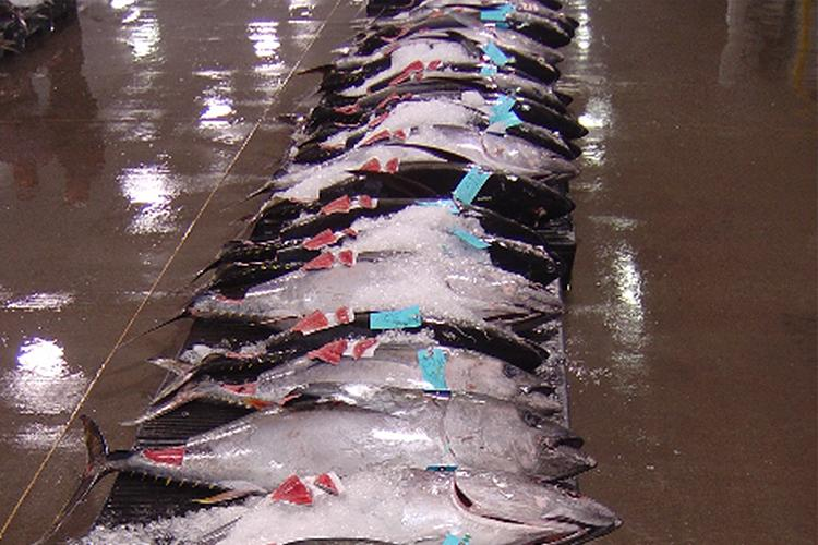 Ahi tuna lined up at the fish auction in Honolulu, HI.