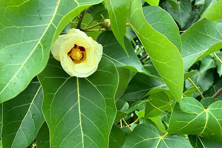 Native Hawaiian flower blooming between large green leaves.